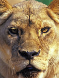 Lioness, Masai Mara Game Reserve, Kenya Photographic Print by Adam Jones