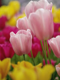 Tulips Photographic Print by Adam Jones