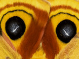 Close-Up of Saturnia Moth Wings, Pennsylvania, USA Photographic Print by Nancy Rotenberg
