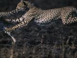 Cheetah Cubs at Play, Masai Mara Game Reserve, Kenya Photographic Print by Paul Souders