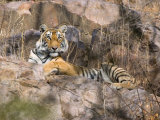 Tiger Resting on Cliff Face, Ranthambore National Park, Rajasthan, India Photographic Print by Philip Kramer