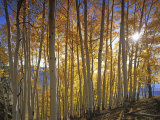 Aspen Grove, Gunnison National Forest, Colorado, USA Photographic Print by Charles Gurche