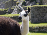 Llama Posing on Main Plaza, Machu Picchu, Peru Photographic Print by Diane Johnson