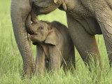 Elephant and Young, Corbett National Park, Uttaranchal, India Photographic Print by Jagdeep Rajput