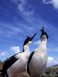 Imperial Cormorants, Faulkland Islands Photographic Print by Gavriel Jecan