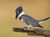 Belted Kingfisher, Willacy County, Rio Grande Valley, Texas, USA Photographic Print by Rolf Nussbaumer