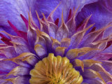 Close-Up of Part of Clematis Blossom Photographic Print by Don Paulson