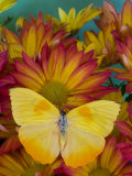 The Orange Barred Sulphur Butterfly Photographic Print by Darrell Gulin