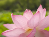 Pink Lotus, Kenilworth Aquatic Gardens, Washington DC, USA Photographic Print by Corey Hilz