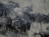 Wildebeest Herd Migration, Banks of Telek River, Masai Mara Game Reserve, Kenya Photographic Print by Paul Souders