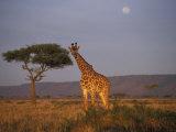 Giraffe Feeding on Savanna, Masai Mara Game Reserve, Kenya Photographic Print by Paul Souders