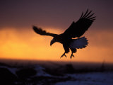 Bald Eagle in Flight at Sunset, Kachemak Bay, Alaska, USA Photographic Print by Steve Kazlowski