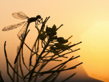 Silhouette of Damselfly, Lee Metcalf National Wildlife Refuge, Montana, USA Photographic Print by Nancy Rotenberg