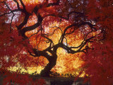 Japanese Maple, Darien, Connecticut, USA Photographic Print by Alison Jones