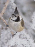Crested Tit, Lenzerheide, Switzerland Photographic Print by Rolf Nussbaumer