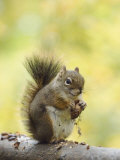 Red Squirrel, Jenny Lake, Grand Teton National Park, Wyoming, USA Photographic Print by Rolf Nussbaumer