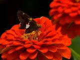 Silver Spotted Skipper Butterfly, Meadowlark Botanical Gardens, Vienna, Virginia, USA Photographic Print by Corey Hilz