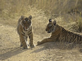 Young Royal Bengal Tiger, Ranthambhor National Park, India Photographic Print by Jagdeep Rajput