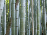 Bamboo Forest, Kyoto, Japan Photographic Print by Gavriel Jecan