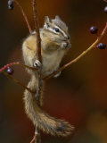 Least Chipmunk Eating Berries, Grand Teton National Park, Wyoming, USA Photographic Print by Rolf Nussbaumer