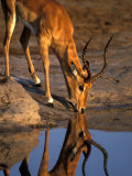 Bull Impala Reflected in Savuti Marsh, Chobe National Park, Botswana, Photographic Print