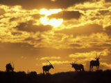 Gemsbok Silhouetted on Sand Dune, Kgalagadi Transfrontier Park, South Africa Photographic Print by Paul Souders
