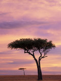 Pair of Accasia Trees at dawn, Masai Mara, Kenya Photographic Print by Adam Jones