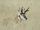Pronghorn Male Resting, Yellowstone National Park, Wyoming, USA Photographic Print by Rolf Nussbaumer