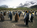 King Penguins, South Georgia Island, Sub-Antarctica Photographic Print by Gavriel Jecan