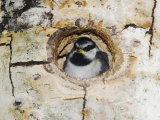 Mountain Chickadee in Aspen Tree, Rocky Mountain National Park, Colorado, USA Photographic Print by Rolf Nussbaumer