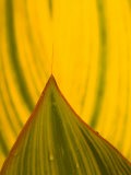 Detail of Hosta Leaf, Green Spring Gardens Park, Alexandria, Virginia, USA Photographic Print by Corey Hilz