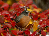 American Robin in Black Hawthorn, Grand Teton National Park, Wyoming, USA Photographic Print by Rolf Nussbaumer