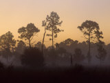 Pine Trees in Morning Fog, Big Cypress National Preserve, Florida Photographic Print by Rolf Nussbaumer
