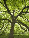 Huge Tree at Monticello, Virginia, USA Photographic Print by John & Lisa Merrill