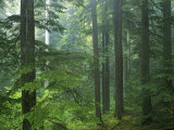 Old growth forest, Mt. Rainier National Park, Washington, USA Photographic Print by Charles Gurche