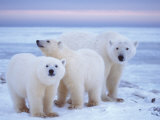 Polar Bear Sow with Cubs, Arctic National Wildlife Refuge, Alaska, USA Photographic Print by Steve Kazlowski