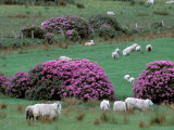Spring Countryside with Sheep, County Cork, Ireland Photographic Print by Marilyn Parver