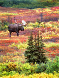 Bull Moose and Autumn Tundra, Denali National Park, Alaska, USA Photographic Print by David W. Kelley