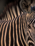 Grevy's Zebra at Sunset, Buffalo Springs National Reserve, Kenya Photographic Print by Paul Souders