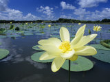 American Lotus, Welder Wildlife Refuge, Rockport, Texas, USA Photographic Print by Rolf Nussbaumer