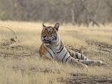 Royal Bengal Tiger, Ranthambhor National Park, India Photographic Print by Jagdeep Rajput