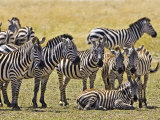 Zebras Herding in The Fields, Maasai Mara, Kenya Photographic Print by Joe Restuccia III