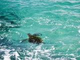 Green sea turtle, Hawaii Fotografisk tryk af Douglas Peebles