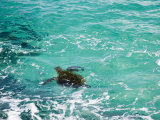 Green sea turtle, Hawaii Photographic Print by Douglas Peebles