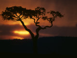 Acacia Tree During Afternoon Rain Storm, Masai Mara Game Reserve, Kenya Photographic Print by Paul Souders