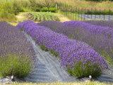 Lavender Farm, San Juan Islands, Washington, USA Photographic Print by Savanah Stewart