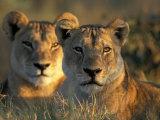 Lionesses, Savuti Marsh, Chobe National Park, Botswana Photographic Print by Paul Souders