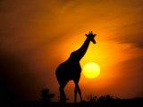 Giraffe, Masai Mara, Kenya Photographic Print by Marilyn Parver
