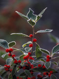 Holly Berries With Frost Photographic Print by Marilyn Parver