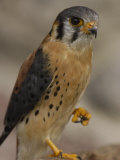 American Kestrel, Ecuador Photographic Print by Pete Oxford